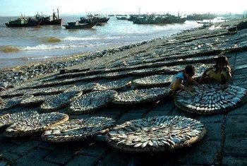 Niños secando pescado en Vietnam. Foto: OIT / Trong Thang