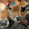 Una fila de ganado es alimentada.