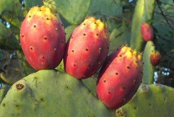 Un nopal y su fruto, las tunas. Foto: Tarquille.deviantart.com