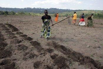 Des femmes préparant la terre avant de planter des pommes de terre, à Gashikanwa, au Burundi.