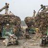 Loading farm carts in Bangladesh.