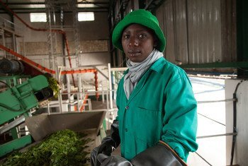 Un ouvrier trie des feuilles de thé vert avant qu'elles n'atteignent l'étage de traitement principal de l'usine de traitement du thé de Kitabi, au Rwanda.