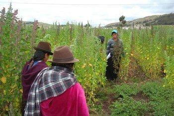 Farmers grow quinoa in the Andes mountain region in Latin America. FAO Photo