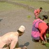 Farmers transplant rice seedlings in a paddy field in Dhading district, central Nepal.