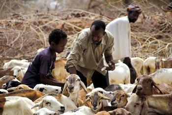 Des éleveurs et leur troupeaux au Soudan du Sud. En janvier 2019, les cours internationaux des prix de la viande bovine, porcine et de volaille sont restés stables, tandis que les prix de la viande ovine ont diminué.