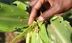 Fall Armyworm on damaged maize in Malawi.