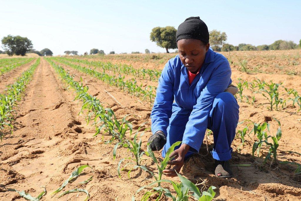 一位纳米比亚农民在受到虫害影响的玉米田中。