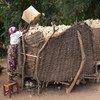 Mmoja wa wafaidika wa msaada wa FAo wa kugawa fedha akipakia mahidi kwenye vihenge vyake kijijini Mzingi nchini Malawi . Hii ni baada ya kuathirika lna el Nino na kuanza kupewa msaada.