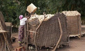 A beneficiary of an FAO social cash transfer project loading maize in one of her two granaries at her home in Mzingo village in Mchinji, Malawi. (file)