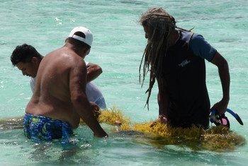 Pescadores reciben una capacitación en el cultivo de algas marinas en Placencia, Belice, en el marco de una actividad de cooperación sur-sur.