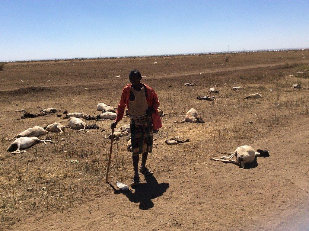 索马里北部遭遇严重干旱。这位牧民饲养的70头羊中有半数死亡。