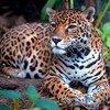 El jaguar está en peligro de extinción.