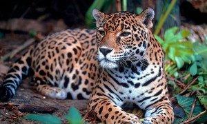 A onça-pintada está entre espécies ameaçadas de extinção