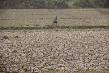 一名女孩穿过缅甸实皆省的荒芜农田。洪水掩埋了宝贵肥沃的土壤,使其变得坚硬并且裂开,从而使土地耕作变得更加困难和成本昂贵。