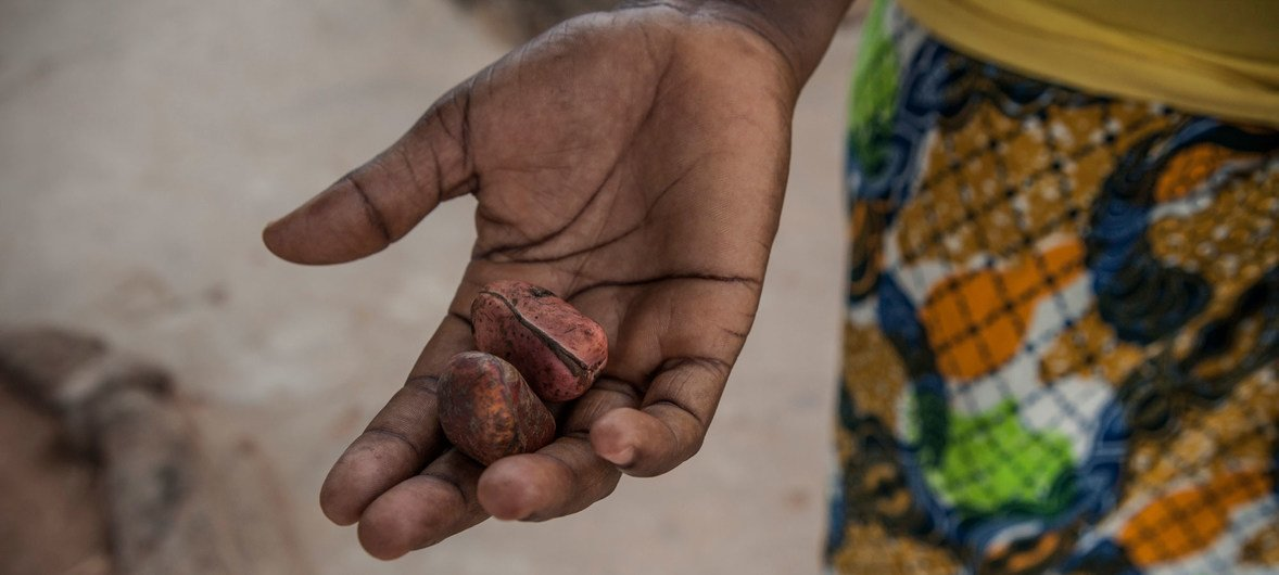 """""""Kola nuts are brought to the family when a man wants to marry a girl,"""" says Martha Bamsuma, a midwife who works at Wale Wale District Hospital in Ghana."""