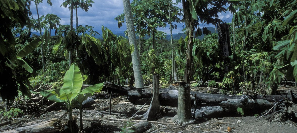 Tree stumps in Indonesian forest
