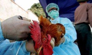 Veterinarians examining a chicken.