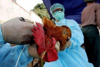 Des vétérinaires examiment un poulet.  75% des nouvelles maladies infectieuses qui ont émergé au cours des dernières décennies trouvent leurs origines chez les animaux.