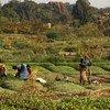 粮农组织今天发布的一份报告,与饥饿、粮食安全和营养相关的大部分可持续发展目标的全球实施进度出现滞后。