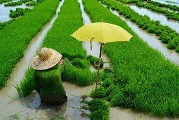 菲律宾的一位农民正在水田里种植水稻。