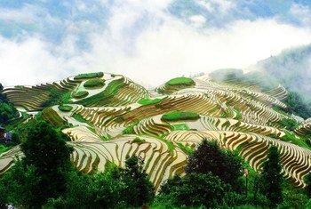 Des rizières en terrasse en Chine.