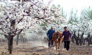 Mfumo wa jadi wa kilimo cha miforosadi huko Xiajin karibu na yellow River , China