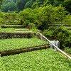 La región de Shizuoka, en Japón, es conocida por marcar el inicio del cultivo tradicional del wasabi en el mundo, que se inició hace alrededor de 400 años.