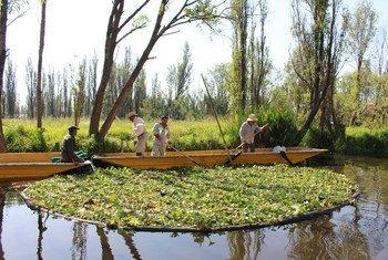 """Las """"chinampas"""", en la Zona Patrimonio Mundial, Natural y Cultural de la Humanidad de Xochimilco, México, forman un conjunto artificial de islas flotantes construido según las normas de la tradición azteca."""