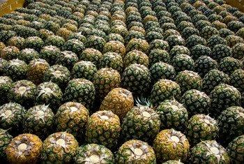 Les peaux des ananas peuvent être transformées en emballage biodégradable