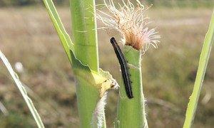 玉米地里的秋粘虫。