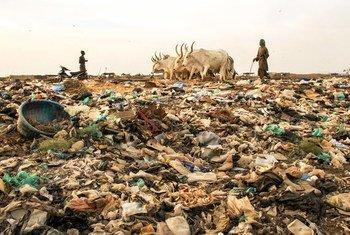 塞内加尔一位牧民赶着的牛群踩上了一堆垃圾。