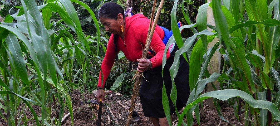 Una mujer indígena cultiva maíz en Sibundoy, Colombia.
