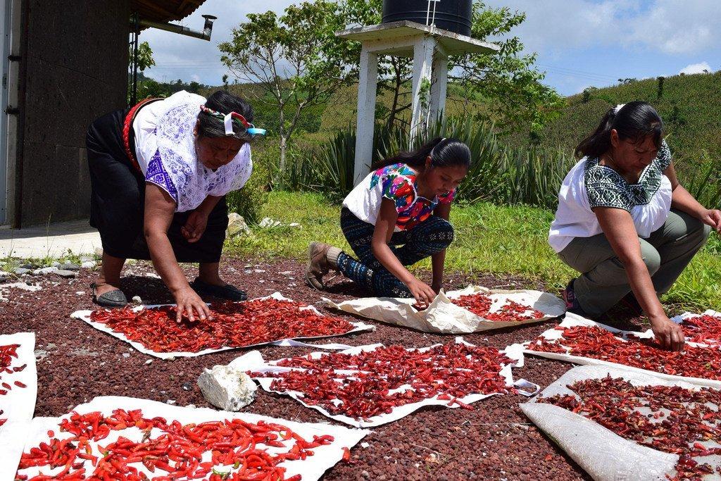 El chile es uno de los principales productos consumidos diariamente en México. La comunidad Nahua de Tlaola, produce tradicionalmente el chile serrano entre los meses de abril y junio, los chiles rojos se dejan madurar en la planta y se secan bajo el sol.