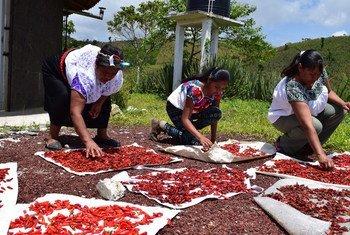 Le piment est l'un des principaux produits consommés quotidiennement au Mexique. Les femmes de la communauté Nahua de Tlaola produisent le poivron serrano entre avril et juin.