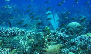 Coral reef ecosystems house 25 per cent of all marine life, feeding hundreds of millions of people. A healthy reef at Molinere Bay, Marine Protected Area in Grenada.