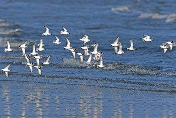 Les sanderlings, les petits échassiers illustrés ici, sont des oiseaux migrateurs de longue distance qui hivernent vers le sud jusqu'en Amérique du Sud, en Europe du Sud, en Afrique et en Australie.