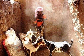 Oumou s'occupent des chèvres qu'elle a reçues de la FAO dans le cadre du programme des transferts productifs / CASH + dans la ville de Guetema, située dans la région de Kayes, au Mali