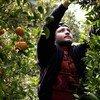 اللاجئ الأفغاني مجتبى الحسيني يجمع ثمار البرتقال في مزرعة بجزيرة كريت.