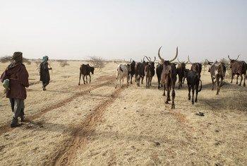 Pastores guiam seus rebanhos no Niger, no Sahel