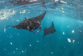 Varias mantas raya nadan entre plásticos en Bali, Indonesia.