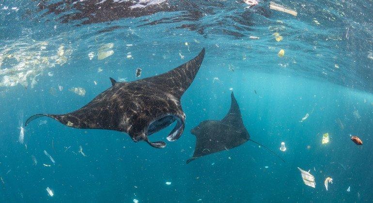 Varias mantarayas nadan entre plásticos en Bali, Indonesia.