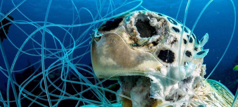 丢弃的鱼线和钩子也是致命的。这只已经腐烂的绿海龟在加勒比海的巴哈马群岛附近被鱼线所笼罩。