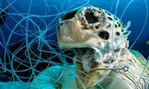 Рыболовные сети и снасти, выброшенные в воду, также представляют смертельную опасность для морских животных. На этом фото – черепаха, запутавшаяся в рыболовной сети у побережья Багам в Карибском море.