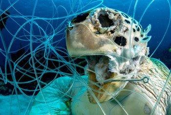 Artes de pesca descartadas pueden ser mortales. Esta tortuga verde falleció en el mar Caribe en las Bahamas.