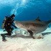 Тигровая акула приблизилась к подводному ныряльщику. Загрязнение морей пластиком несет угрозу биоразнообразию мирового океана.