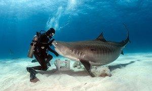 У обитателей подводного мира зачастую складываются очень тесные отношения с людьми, как, например, у этой тигровой акулы и дайвера Горо Галиса