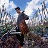 Arroser les plantes fait partie des tâches des enfants qui travaillent dans le secteur de l'agriculture dans le nord de Sumatra, en Indonésie.