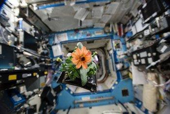 一朵百日菊漂浮在国际空间站的命运号实验舱内,这是美国国家航空航天局宇航员林德格伦在2015年11月16日开启的空间花卉植物实验的一部分。
