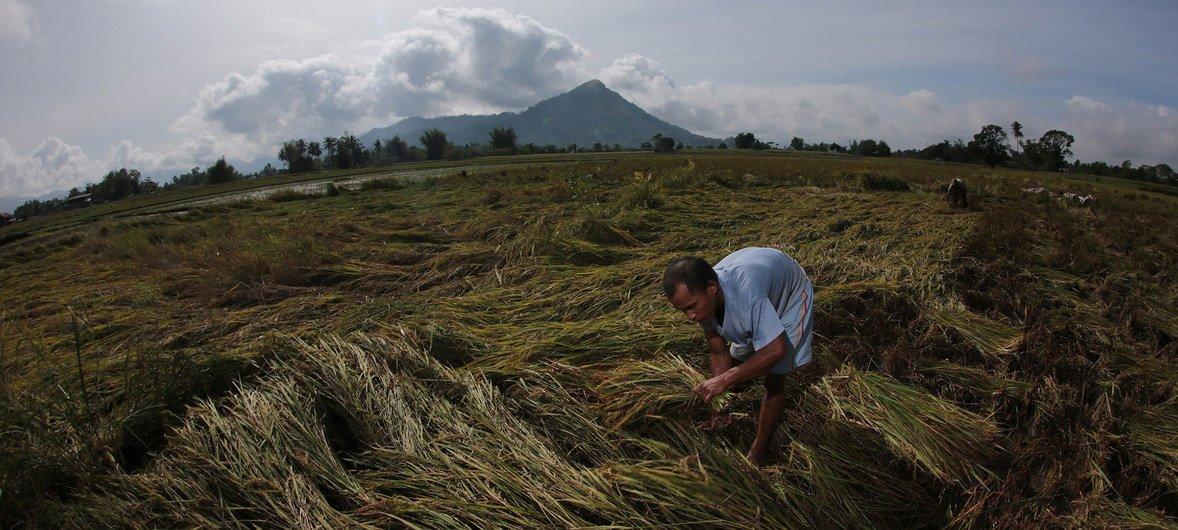 一名菲律宾农民正在田间割草。