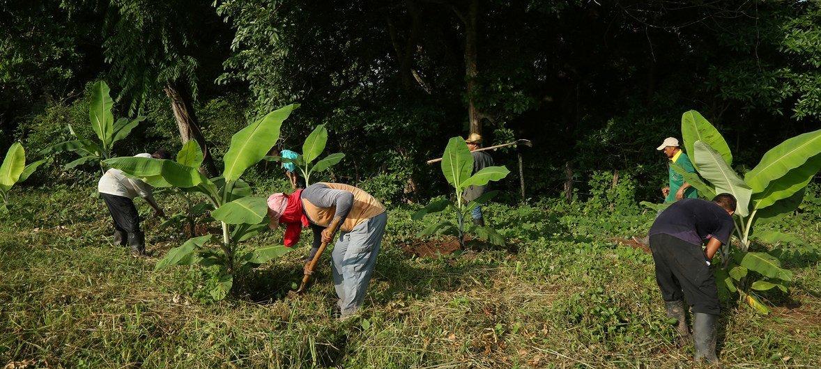 Miembros de la cooperativa COOMPAZCOL trabajan en el campo, en Colombia.